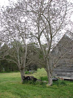 Paper mulberry trees